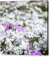 White And Pink Flowers At Botanic Garden In Blue Mountains Acrylic Print