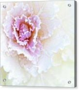 White And Pink Ornamental Kale Acrylic Print
