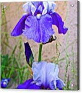 White And Purple Irises At Pilgrim Place In Claremont-california- Acrylic Print