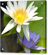White And Purple Lotus Flowers At Golden Mount Acrylic Print