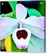 White And Purple Orchid In Greenhouse At Pilgrim Place In Claremont-california Acrylic Print