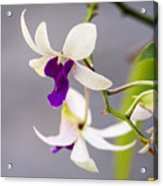 White And Purple Orchid Acrylic Print