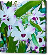 White And Purple Orchids In Greenhouse At Pilgrim Place In Claremont-california Acrylic Print