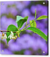 White And Purple Spring 2 Acrylic Print