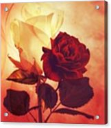 White And Red Roses Acrylic Print