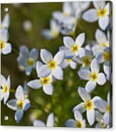 White And Yellow Blossoms Acrylic Print