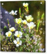 White And Yellow Poppies Abstract 2   Acrylic Print