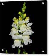 White And Yellow Snapdragon Acrylic Print