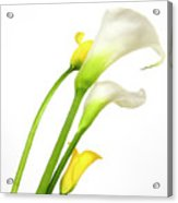 White Arums In Studio. Flowers. Acrylic Print