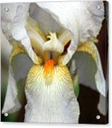 White Bearded Iris 2 Acrylic Print