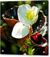 White Begonia At Pilgrim Place In Claremont-california  Acrylic Print