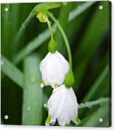 White Bells Perspective Acrylic Print