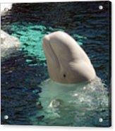 White Beluga Whale 1 Acrylic Print
