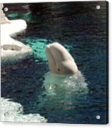 White Beluga Whale 3 Acrylic Print