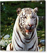 White Bengal Tiger  Acrylic Print by Garry Gay
