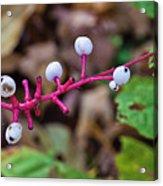 White Berries - Kettle Moraine 10-14-16 Acrylic Print