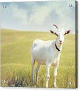 White Billy Goat Acrylic Print
