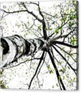 White Birch 2011-1a Acrylic Print