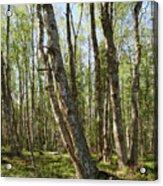 White Birch Forest Acrylic Print
