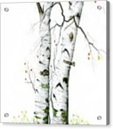 White Birch Acrylic Print