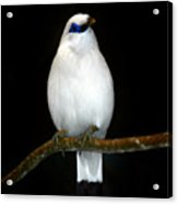 White Bird Acrylic Print