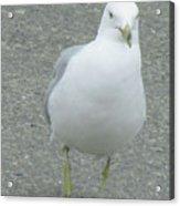 White Bird Of Alberta Acrylic Print
