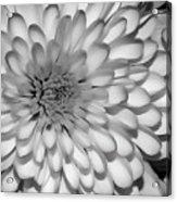 White Bloom Acrylic Print