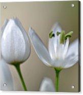 White Blossom 1 Acrylic Print