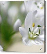 White Blossom 2 Acrylic Print