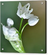 White Blossom 3 Acrylic Print