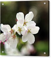 White Blossom  Acrylic Print