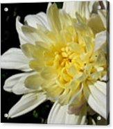 White Blossom Of Radiance Acrylic Print