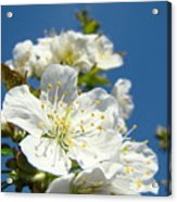 White Blossoms Art Prints Spring Tree Blossoms Canvas Baslee Troutman Acrylic Print