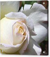 White Blush Rose Acrylic Print