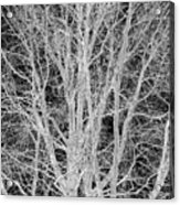 White Branches Acrylic Print