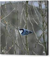 White Breasted Nuthatch 3 Acrylic Print