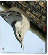 White Breasted Nuthatch At The Suet Feeder Acrylic Print