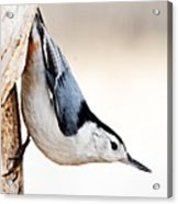 White-breasted Nuthatch Acrylic Print