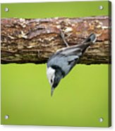 White-breasted Nuthatches Acrylic Print
