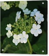 White Bridal Wreath Flowers Acrylic Print