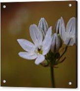 White Brodiaea Acrylic Print