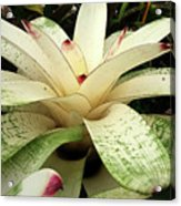 White Bromeliad Acrylic Print