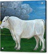 White Bull Acrylic Print
