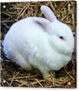 White Bunny Acrylic Print