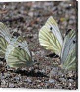 White Butterflies Acrylic Print