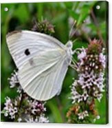 White Butterfly At The Good Earth Market Acrylic Print