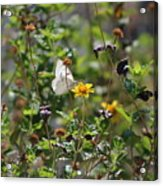 White Butterfly On Golden Daisy Acrylic Print