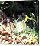 White Butterfly On Goldenseal Acrylic Print