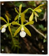 White Butterfly Orchid Acrylic Print