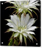 White Cactus Flowers Acrylic Print